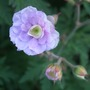 Geranium_pratense_summer_skies_