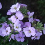 Erysimum_little_kiss_lilac_