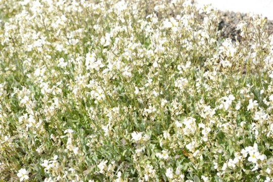 A garden flower photo (Arabis)