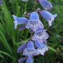 Penstemon_sour_grapes_