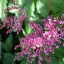 Filipendula_purpurea