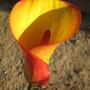 Red & Yellow Calla 2 (Zantedeschia aethiopica (Arum lily))