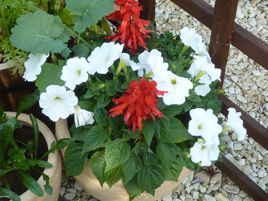 Petunia & Salvia red