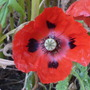 My first poppy from seed:o))