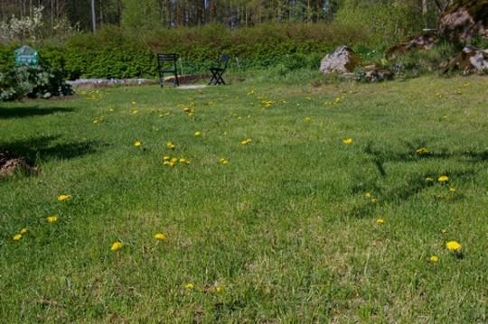 Growing in the lawn (Taraxacum officinale (Dandelion))