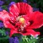 Poppy Raspberry Blush.