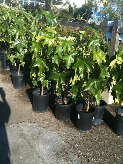Aleurites moluccana - Kukui Nut Trees (Aleurites moluccana - Kukui Nut Tree)