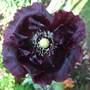Black Turkish Poppy.