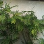 Chamaedorea microspadix  - Bamboo Palm in Lemon Grove, CA. (San Diego County) (Chamaedorea microspadix  - Bamboo Palm)