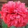 Peony Poppy Rose Bombast.