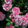 Pink rambling rose