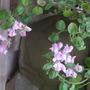 Antirrhinum_hispanicum