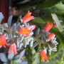 echeveria carnicolor (Echeveria carnicolor)