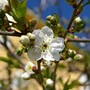 A garden flower photo (Prunus cerasus (Cherry))