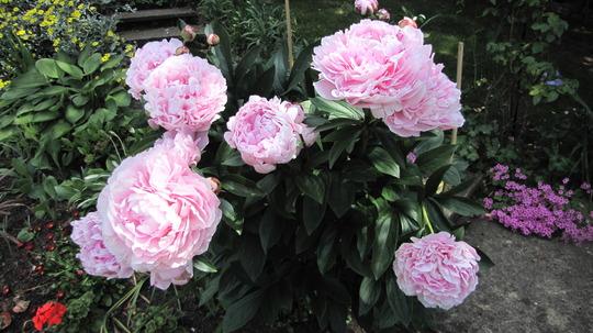 Sarah Bernhardt (Paeoniaceae)