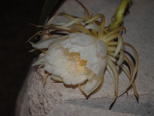 cereus_at_4_a.m..jpg