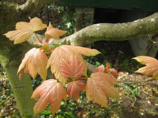 Acer_pseudoplantanus_Brilliantissimum_young_leaves_30_04_2010_12_42_38.jpg