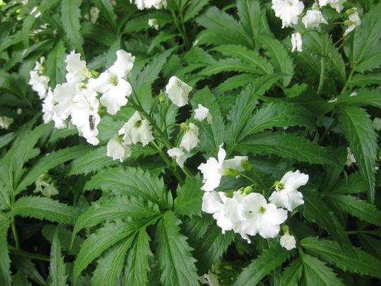 Cardamine_heptaphylla_flower_and_foliage_03_05_2010_16_31_25.jpg
