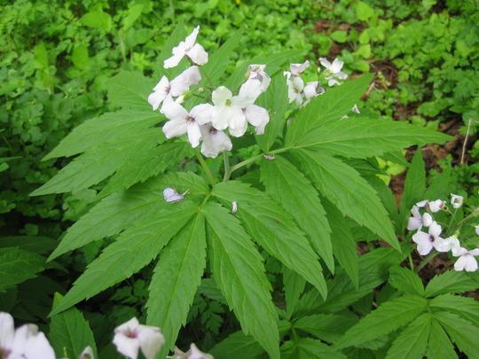 Cardamine_pentaphylla_flower_and_foliage_03_05_2010_16_31_10.jpg
