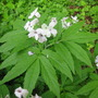 Cardamine_pentaphylla_flower_and_foliage_03_05_2010_16_31_10.jpg