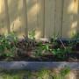 Super early peas doing well (Pisum sativum (Cascadia Bush Snap Pea))