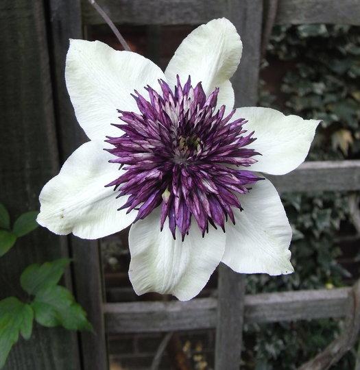 clematis florida 39 sieboldii 39 2010 grows on you. Black Bedroom Furniture Sets. Home Design Ideas