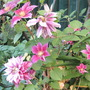 The pink clematis (clematis)