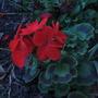 Geranium 'Black Velvet Red. F1 (pelargonium zonale)
