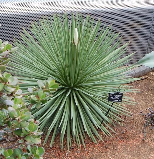 Dasylirion Wheeleri (Dasylirion wheeleri (Desert Spoon))