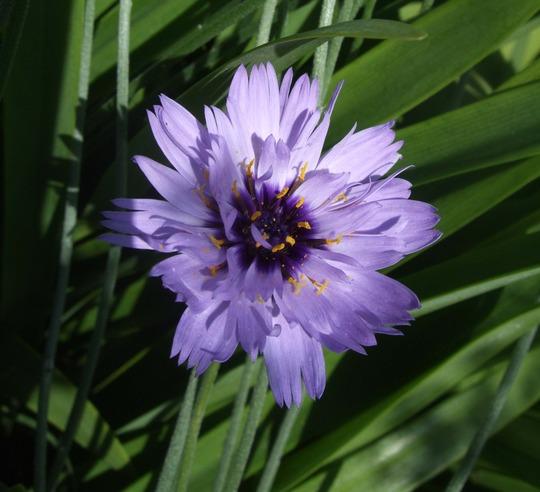 Catananche caerula (Catananche caerulea)