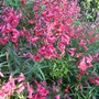 Penstemon_in_full_bloom