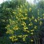 Spartium junceum (Spartium junceum)
