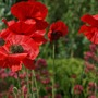 Poppy.s (Papaver somniferum)