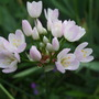 Pale_pink_allium