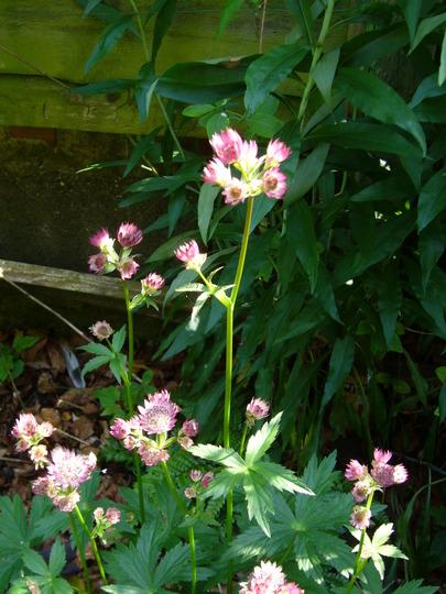 a good pink form of Astrantia (Astrantia major (Masterwort))