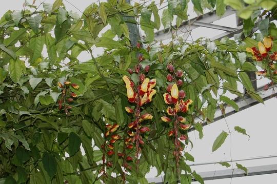 Thunbergia Mysorensis (Thunbergia Mysorensis)