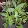 Persicaria odoratum (Persicaria odoratum)