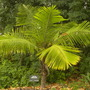 Ravenea hildebrandtii - Dwarf Majesty Palm (Ravenea hildebrandtii - Dwarf Majesty Palm)