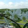 White Dendrobium (dendrobium)