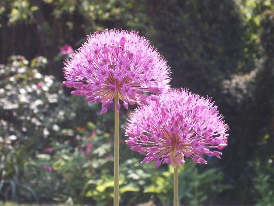 Alliums (Allium hollandicum (Ornamental onion))