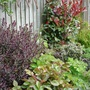 Photinia Bed: Late Spring 2008