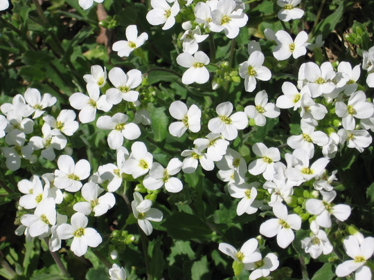 rock cress (Arabis alpina (Alpine Rock-cress))