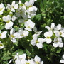 rock cress (Arabis alpina (Alpine Rock-cress))
