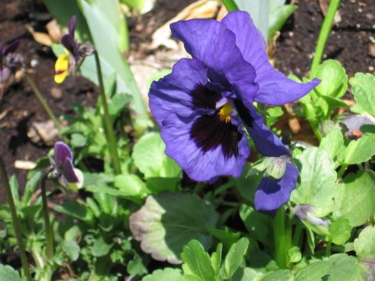 pansy (viola odorata, viola tricolor, viola cornuta)