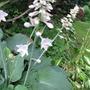 Blue hosta is flowering (Hosta)