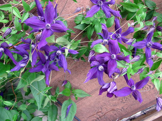 Harlow Carr (Clematis 'Harlow Carr')