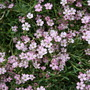 Gypsophila - Dorothy Teacher (Gypsophila repens (Alpine Gypsophila))