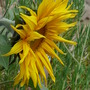 Sunflower - Little Leo (Helianthus annuus (Sunflower))