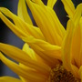 Close-up of Little Leo's mane.....:o)) (Helianthus annuus (Sunflower))