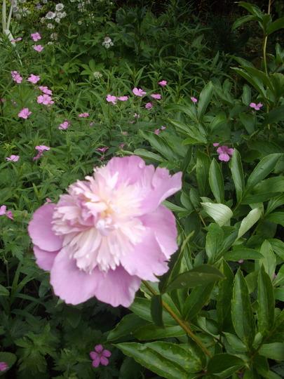 Paeonia (pale pink) (Paeonia)